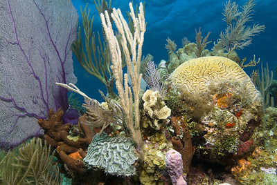 Seafans, corals, and sponges on a shallow Belize reef.