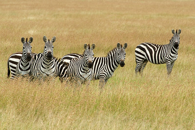 Zebras in the Serengeti. Stripes are excellent protection for the six zebras in this image.