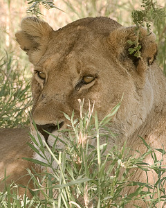 A lioness watches from the shade during the midday heat.