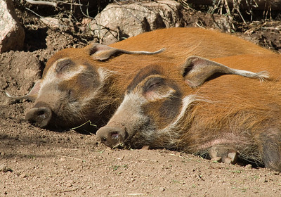 Red River hogs in hog heaven