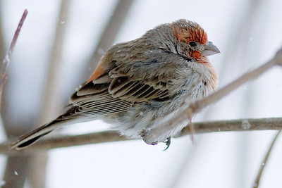 A winter finch on a very cold morning.