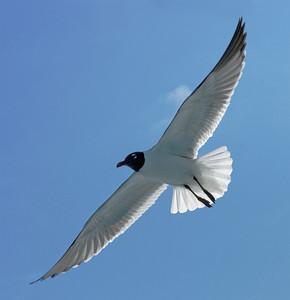 Laughing Gull  atricilla leucophaeus