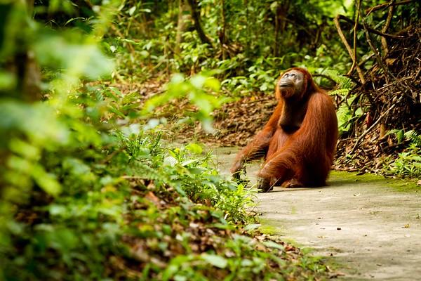 orangutan who loves the world   Borneo