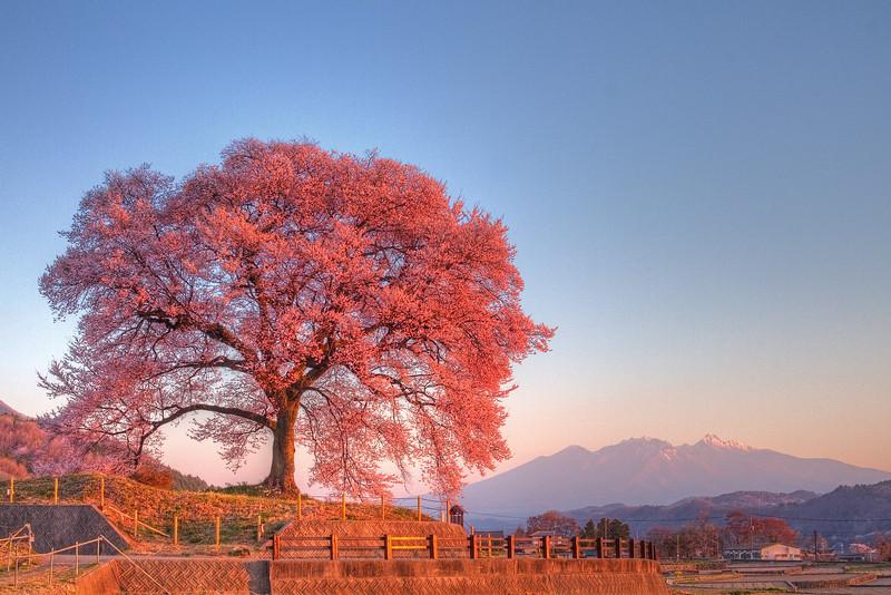 わに塚の桜 5:30AM