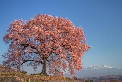 わに塚の桜 7:30AM