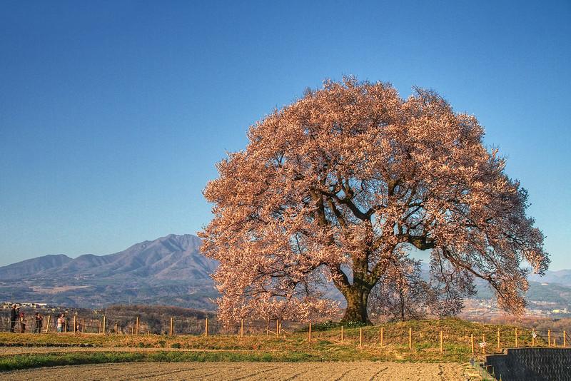 わに塚の桜 4:30PM