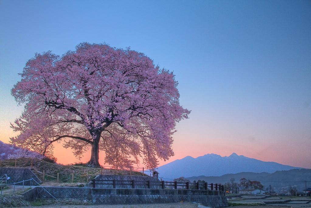 わに塚の桜 6:30PM
