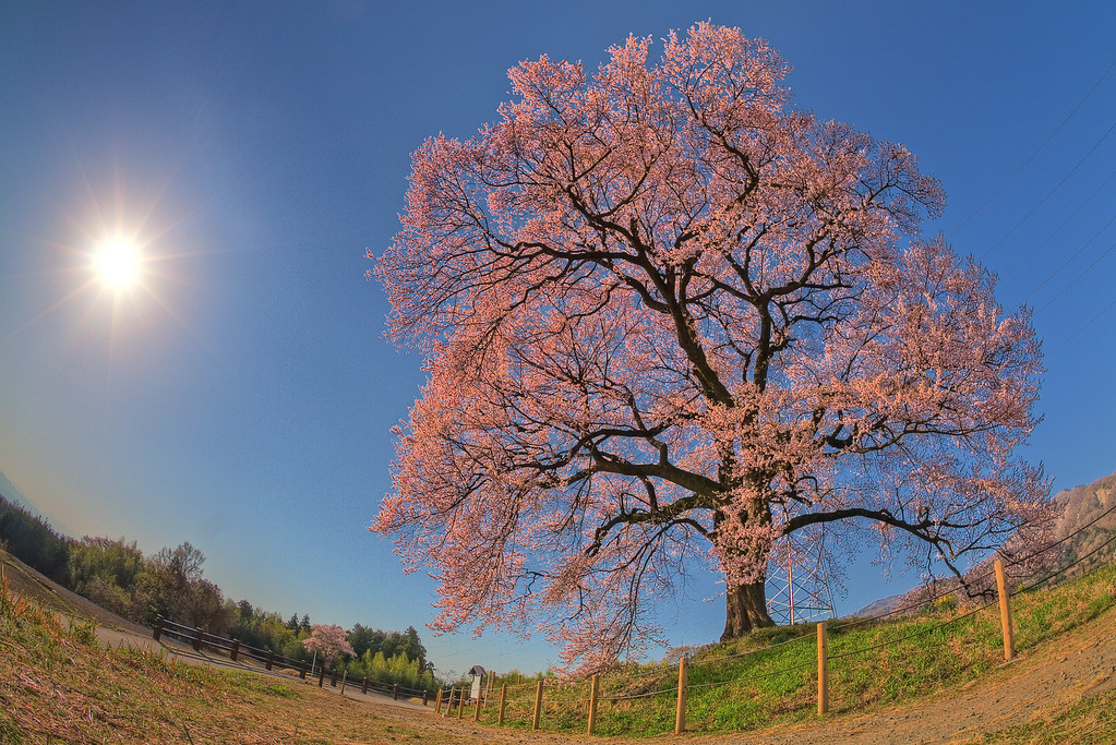 わに塚の桜 8:00AM