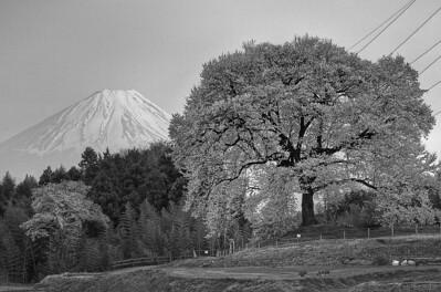 わに塚の桜 6:00PM