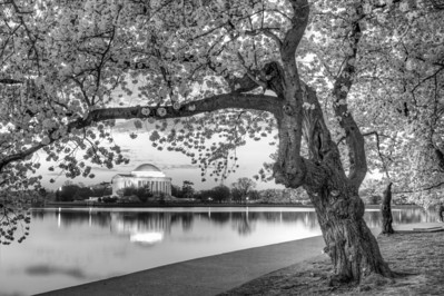Cherry Blossom Sunrise - B&W
