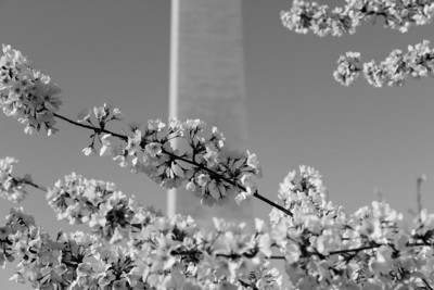 National Cherry Blossom Festival: Washington Monument