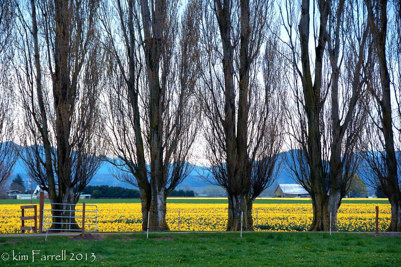 Daffodil field and alders.  Skagit Valley.