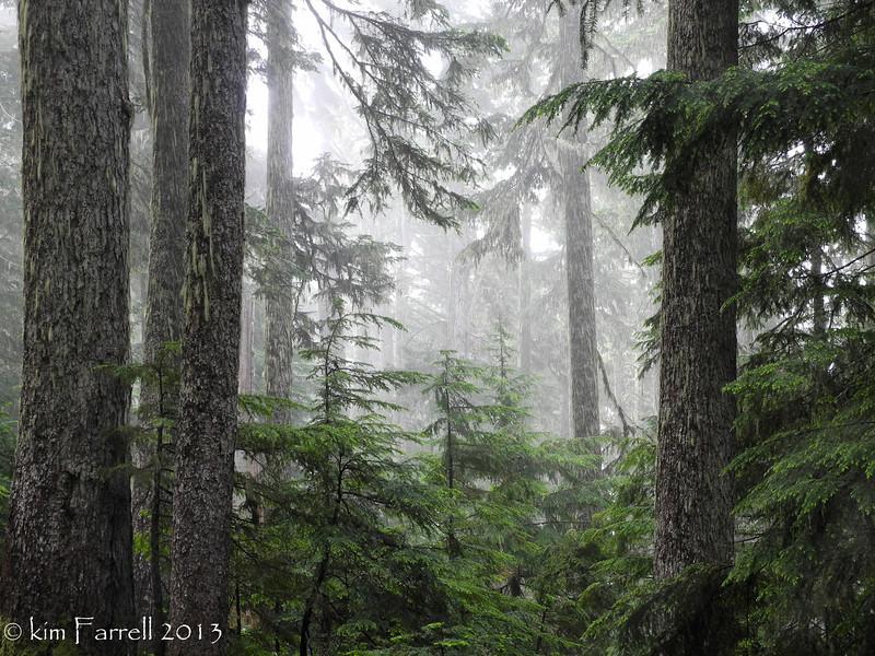 Forest fog.  Mount Rainier National Park.