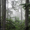Forest fog.  Mount Rainier National Park.