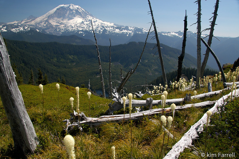 Mt. Rainier and bear grass.