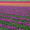 Coloring lines.  Skagit Valley tulips.