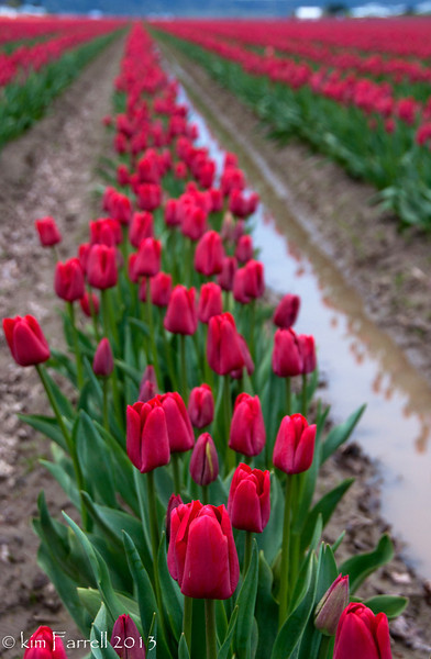 Red! tulips.