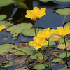 Water Fringe or Floating Heart (Nymphoides peltata)
