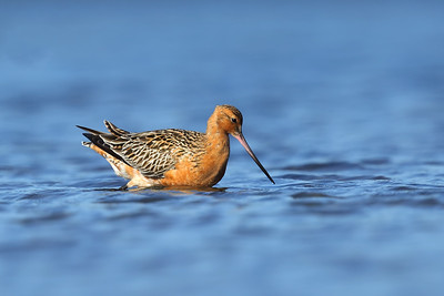 Bar tailed Godwit (Limosa lapponica) in breeding plumage feeding