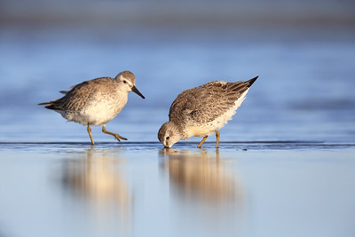 Red Knots (Calidris canutus)