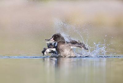 Freckled Duck (Stictonetta naevosa) enjoying a bath