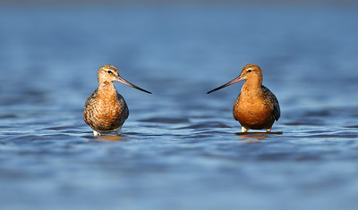 Bar tailed Godwits (Limosa lapponica)