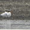 gulls terns2