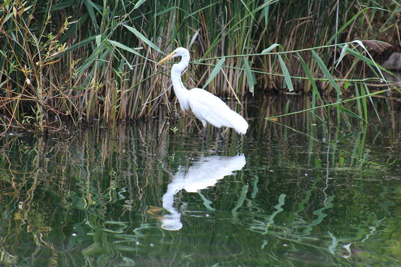 White Egret - Central Park NYC