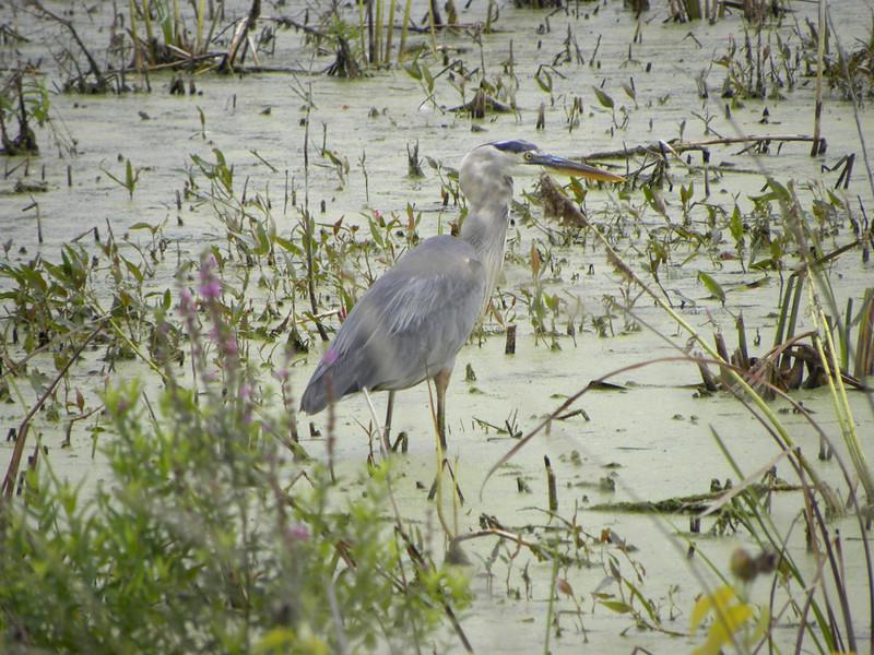Great Blue Heron - Montezuma Wildlife Refuge