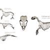client: moss landing marine labs::<br /> Role: Designer & Illustrator<br /> <br /> Developed interactive skeletal taxonomy materials for a proposed class on marine mammal health.