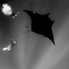 socorro islands::<br /> Manta ray with divers.