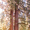 Giant Sequoia Panoramic
