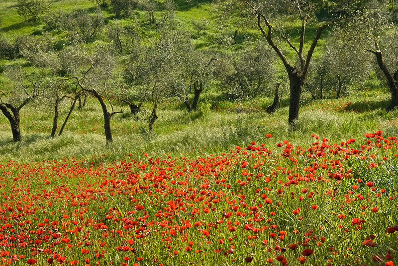 Poppy fields near Viterbo