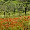 Poppy fields near Viterbo