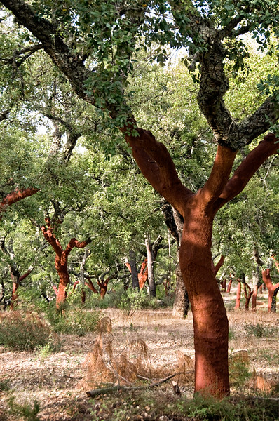 Cork trees near Evora 2