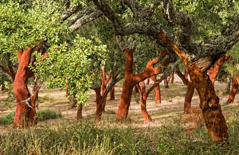 Cork trees near Evora