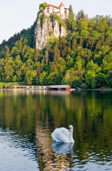 Swan below Bled Castle