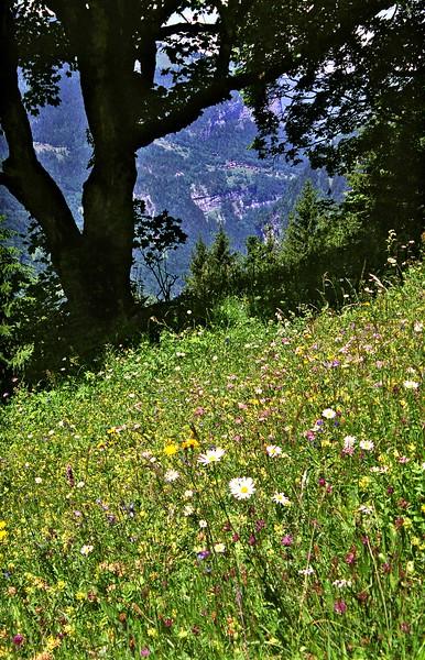 Wildflowers near Wengernalp
