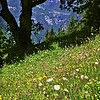 Wildflowers near Wengernalp