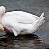 Swan, Lake Geneva