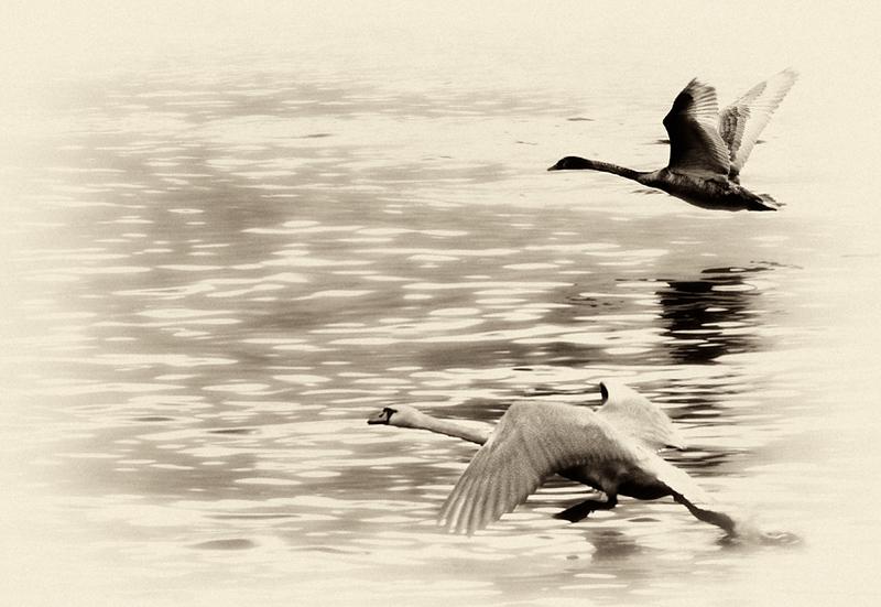 Swans taking off, Lake Geneva