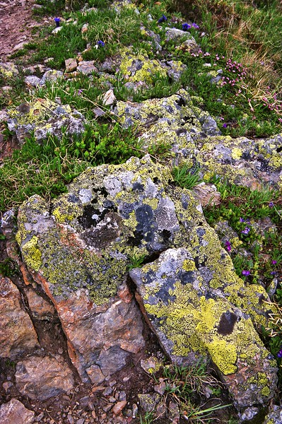 Rocks with lichen and flowers near Bachalpsee Lake