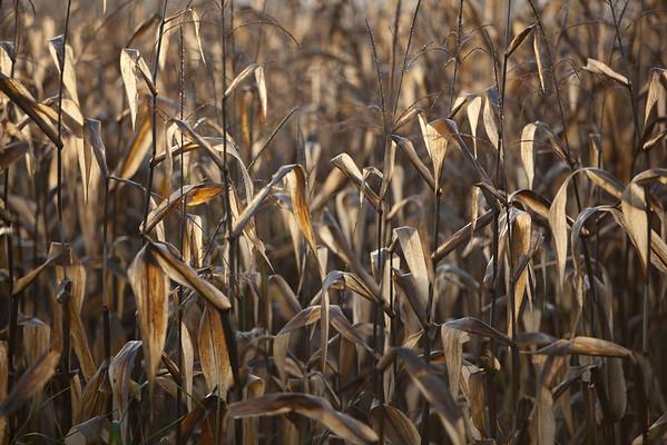 """Early Morning Corn"" Hayesville, North Carolina (Photo: Kelly J. Owen)"