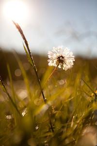 """Dandelion Daydreams"" Cane Creek Vineyards (Photo: Kelly J. Owen)"