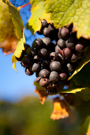 """Sun-Ripened"" Cane Creek Vineyards (Photo: Kelly J. Owen)"