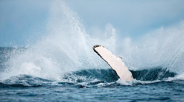 Breaching Humpback whale (Megaptera novaeangliae). Kvaløya, Troms, Norway