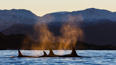Killer whale (Orcinus orca) surfacing in arctic landscape during autumn. The blow are coloured by the sunset. Kvaløya, Troms, Norway.