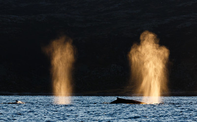 Blow from Humpback whale (Megaptera novaeangliae). The blows are coloured by the sunset and in this picture the blow take the form of an angel or similar. Kvaløya, Troms, Norway.