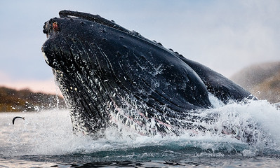 Close-up of a Humpback whale (Megaptera novaeangliae) feeding on herring. Picture also showing the eye and ventral grooves. Kvaløya, Troms, Norway