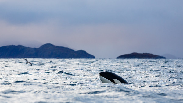 Killer whale / Blackfish (Orcinus orca). Kvaløya, Troms, Norway.